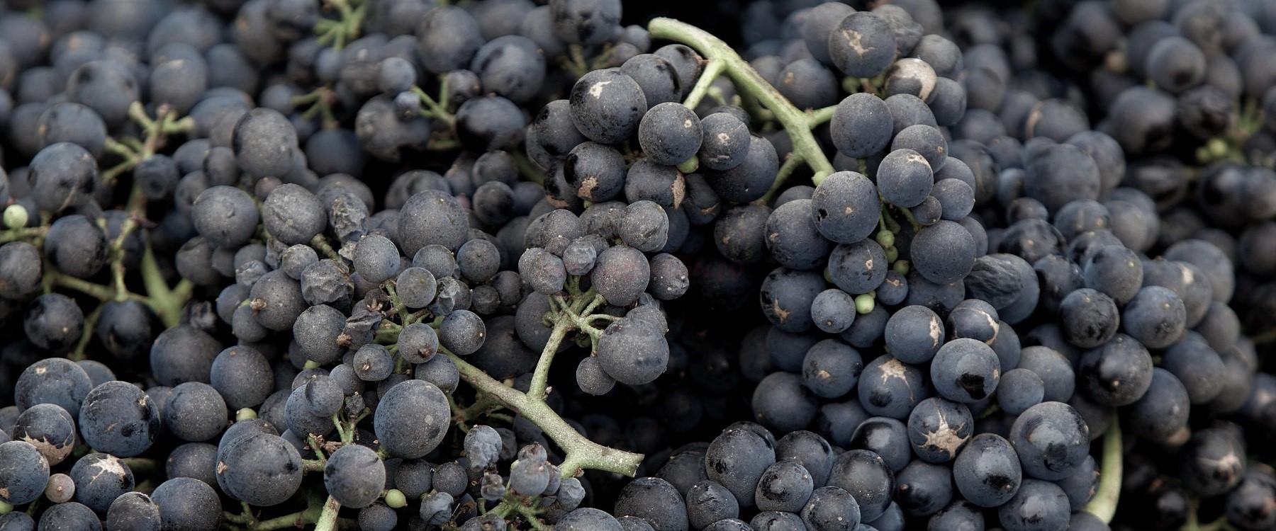 ciorchini struguri pinot noire, ilustratie dicționar viticol