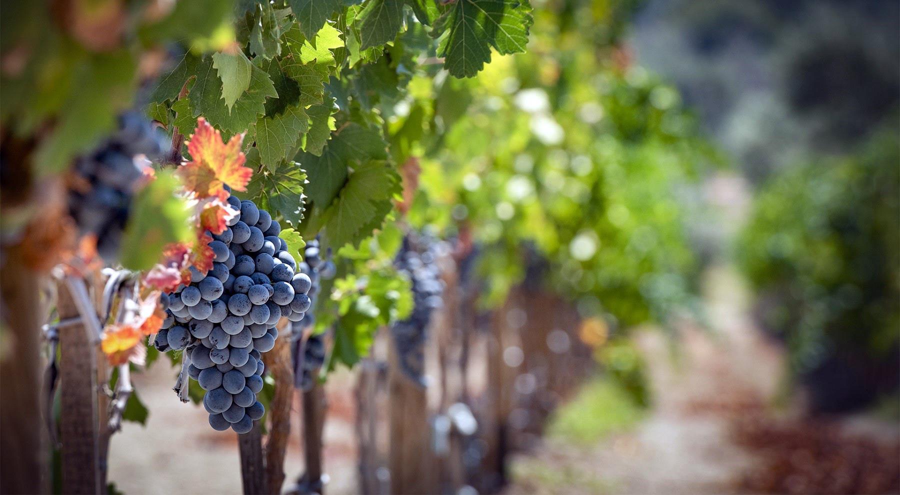 gustăm vinuri și struguri